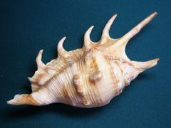 貝の標本(現生)クモガイの貝殻 12.5cm