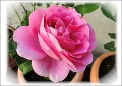 バラ切花品種★DAエミリー★挿し木苗★レア♪
